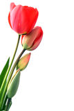 Four red tulips isolated. Four red tulips at different stages of flower isolated on white Stock Photo