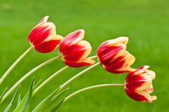 Four red and yellow tulips on green background Stock Images