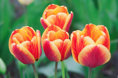 Four red and yellow tulips on a green background Royalty Free Stock Photos