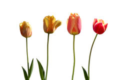 Four red and yellow tulips Royalty Free Stock Images