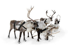 Four reindeer. Stand to harnesses in winter Stock Images