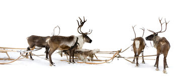 Four reindeers whis harnesses. Four reindeers stand to harnesses in winter Royalty Free Stock Photo