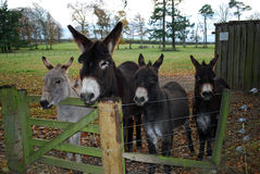 Four rescued donkeys Royalty Free Stock Photo
