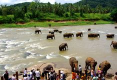 Four River Elephants Royalty Free Stock Images