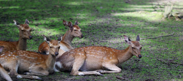 Four roe deers sitting in the forest shadows Royalty Free Stock Image