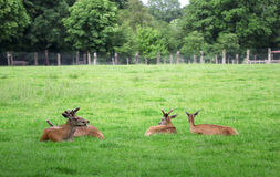 Four roe deers sitting in the green field Stock Photo