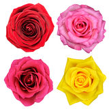 Four Rose Flowers Isolated on White Royalty Free Stock Photography