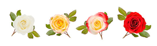 Four roses with leaves on white Royalty Free Stock Photos
