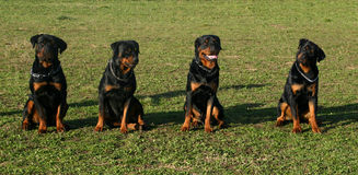 Four rottweiler Stock Images