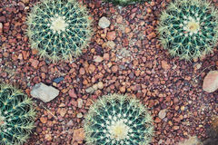 Four round cactus in rocks. Botany, travel, garden design backgr Stock Image