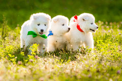 Four Samoyed puppy outdoors in summer Royalty Free Stock Photography