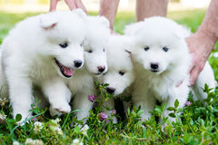 Four Samoyed puppy outdoors in summer Stock Images