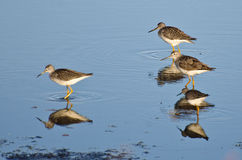 Four Sandpipers in Shallow Water Stock Photography