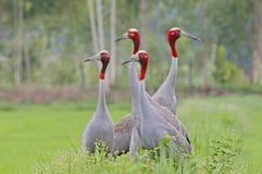 Four Sarus crane Grus antigone Birds of Thailand Royalty Free Stock Images