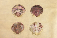 Four scallop shells. Stock Images
