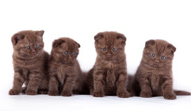 Four Scottish kittens Stock Photos