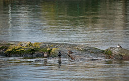 Four Sea Ducks on Rock Royalty Free Stock Images