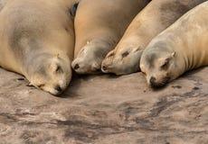 Four Sea Lions Sleep royalty free stock image