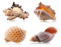 Four sea shells Stock Photos