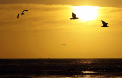 Four seagulls. Flying seagulls at sunset in the ocean Stock Photo