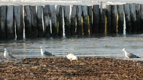 Four seagulls looking for food royalty free stock images
