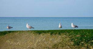 Four seagulls in a row standing on a sea wall stock photo