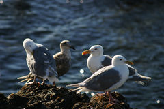 Four Seagulls Royalty Free Stock Photo