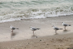 Four seagulls standing on the wet sand Stock Photos