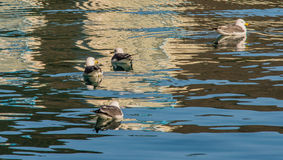 Four seagulls swimming together Stock Image