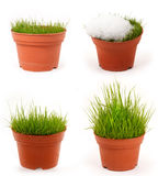 Four season grass. In pot, four-season grass Royalty Free Stock Image