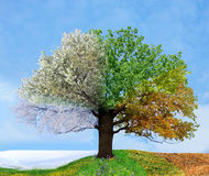 Four season tree Royalty Free Stock Photography