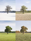 Four season tree Royalty Free Stock Photo