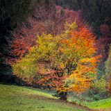 Four season tree. Spring, Summer, Fall and Winter in only one tree in same time Royalty Free Stock Photography