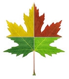 Four Seasons Leaf. Concept with the foliage cut in four pieces with red yellow green colors representing the natural aging process of summer fall winter spring Royalty Free Stock Photos
