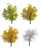 Four seasonsl oak isolated on white Royalty Free Stock Images