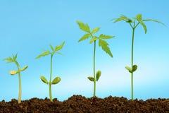 Four seedlingsgrowing Royalty Free Stock Photo