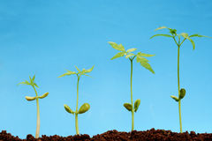 Four seedlingss-New life. Progression of seedlings growth- New life concept stock images