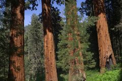 Four Sequoias Royalty Free Stock Photos