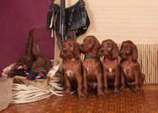 Four setters puppies and pheasants Stock Photos