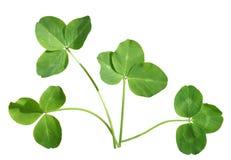 Four shamrocks. Four shamrock leaves isolated on white background royalty free stock image