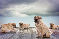 Four Shar Pei. Some Shar Pei playing with a hamster Stock Photos