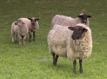 Four Sheep. In a field Stock Image