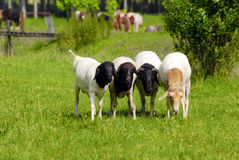 Four sheep Stock Images