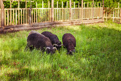 Four sheep eating grass Stock Images