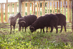 Four sheep eating grass Royalty Free Stock Photography