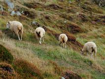 Four Sheep Grazing in a Meadow stock photo
