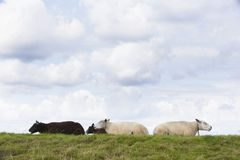 Four sheep lie in grass under cloudy sky in holland Stock Photos