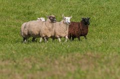 Four Sheep Ovis aries Walk In Stock Photography