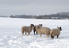 Four Sheep in the Snow. Four sheep in a field of deep snow Royalty Free Stock Image