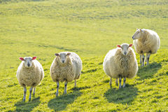 Four sheep standing facing camera Royalty Free Stock Images